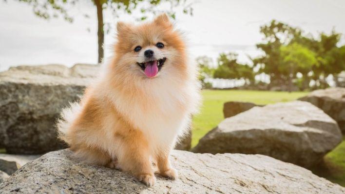 Pomeranian - En Komplett Guide till Pomeranian