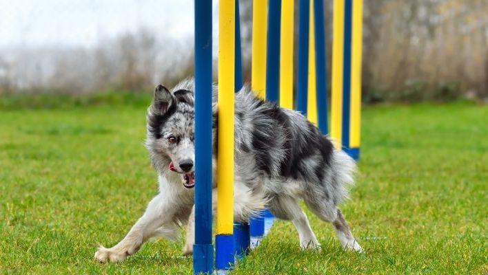 Bästa Agilityhinder för Hund 2021 - Stort Test av Agilityhinder