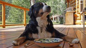 Kan hundar äta blodpudding? (Se recept här)