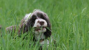 Varför äter hundar gräs och kräks?